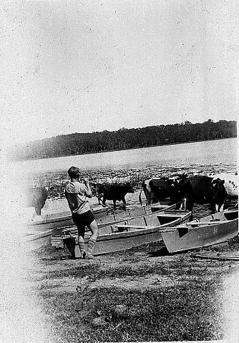 Cows in the water and rental boats at Lake Ann - August 1930