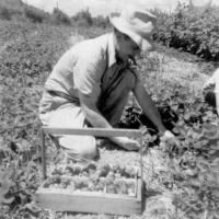 Charles Lawson on the Lawson's 10 acre berry farm - circa unknown